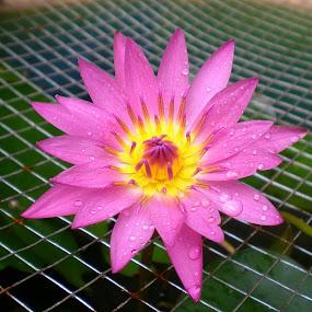 Purple Lotus  by Jo-Ann Tan - Flowers Single Flower (  )