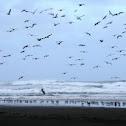Gulls, Godwits