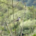 Gray King Bird (Pitirre)