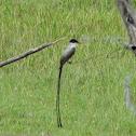 Tijereta Sabanera - Fork-tailed Flycatcher