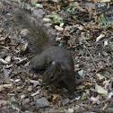 Père David's rock squirrel