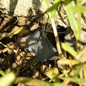 Black Garden Spider