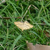Yellow Carpet Moth