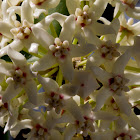Waxvine or Waxflower