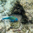 Star-Eyed Parrotfish