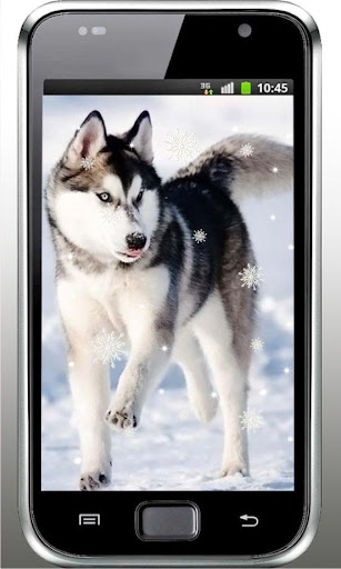 Winter Husky live wallpaper