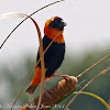 Southern Red Bishop, male