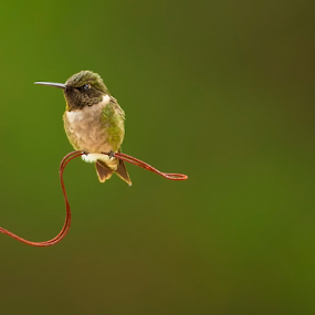 Little Hummer by Bill Tiepelman - Animals Birds ( bird, wire, hummingbird, small bird,  )