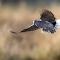 Turtle dove landing.jpg