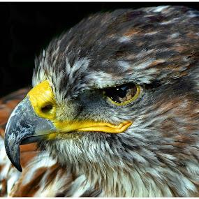 Eagle eye by Brian Rogers - Animals Birds ( animals, eagle, bird of prey.close up, birds,  )