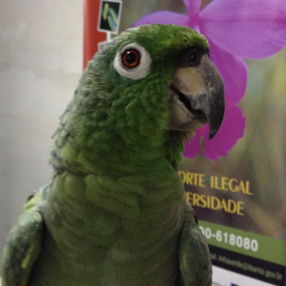 Mealy Parrot / papagaio moleiro