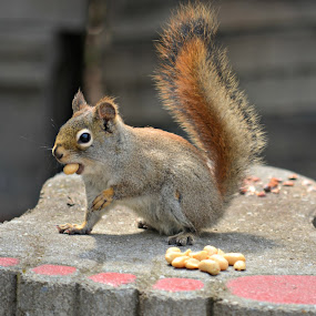 squirrel by Char Robertson - Animals Other ( peanut, red, eating, brown, squirrel )