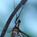 Burrowing Mayfly