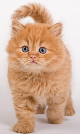 Круте руде кошеня