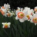 Mrs. Backhouse Daffodil