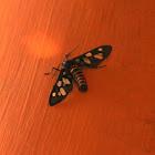 Amata Moth