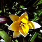 Tulip: Yellow