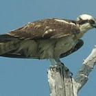 águila pescadora - halieto - osprey