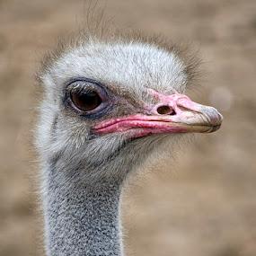 Portrait of an Ostrich by Maritere Izaguirre - Animals Birds ( animals, ostrich, birds,  )