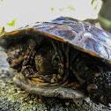 Mediterranean turtle