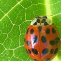 Multicolored Asian Ladybug