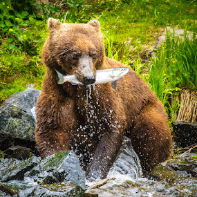 Lunch Time by Craig Brown - Animals Other ( alaska, image, landscape, brown bear, photo, canon 7d, usa, photography, nature, bears, salmon, wolverine creek, animal, u.s.a. )