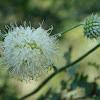 Cephalaria ambrosioides