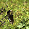 Common Indian Crow butterfly