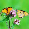African Monarch