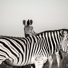 B&W - Kaapse bergkwagga by Adriaan Vlok - Black & White Animals ( black & white zebra, kaapse bergkwagga, zebra; bergkwagga,  )