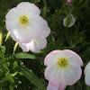 Showy/Pink Primrose