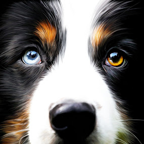 2 eye colors by Manal Ali - Digital Art Animals ( dogs, blue, do, dog, painting, digital, eyes, face, photography, closeup, close, up,  )
