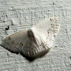 Drepanidae
