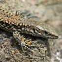 Wall lizard / Mauereidechse