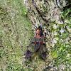 Metallic wasp moth