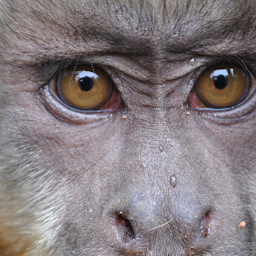 Cheeky Capuchin by Jamie Tambor - Animals Other Mammals ( nature, primate, africa, monkey, capuchin,  )