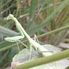 Campamocha o mantis o matacaballo