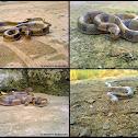Common kukri snake or Banded kukri