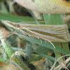 Hednota opulentellus