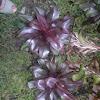 ti leaf, ti plant