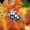 Phyllidiella annulata