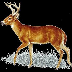 Deer Call
