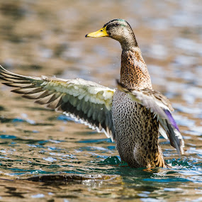 Leadership by Chip Ormsby - Animals Birds ( canon, water, bird, pose, michigan, mallard, leadership, blue, leader, duck, lake superior,  )