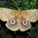 'Conrads' Emperor Moth'
