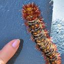 White-stemmed Gum Moth Caterpillar