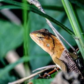 Lacertilia by Surajit Rudra - Animals Reptiles