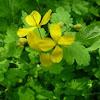 Tetterwort; Greater Celandine
