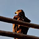 Cod Eagle