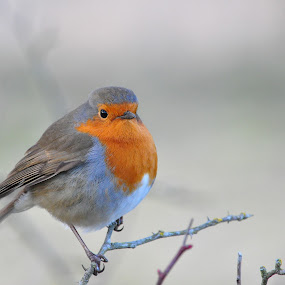 A fluffy Robin by Tony Steele - Animals Birds ( robin )