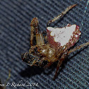 Triangulate orbweaver and prey